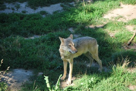 Wolf of Gévaudan