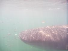 whale shark, Holbox, Mexico