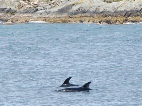 delfinus australis