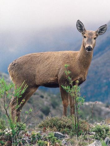 huemule deer, endangered specie living in the park (photo credit : google)