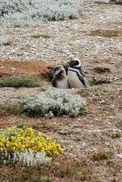 at Seno Otway pinguïnera