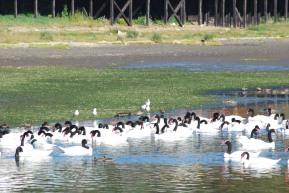 black-necked swans in Curaco de Vélez