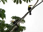 toucans in Arenal volcano Nat. Park, Costa Rica