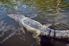 croc', Rio Lagartos, Mexico