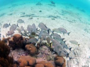 school of fishes in Akumal, Mexico