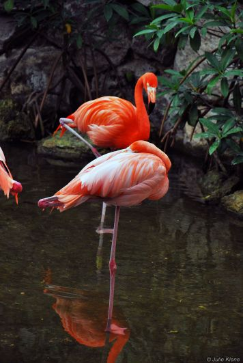 flamingos in Xcaret, Playa del Carmen, Mexico