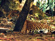 jaguar, Xcaret, Playa del Carmen, Mexico