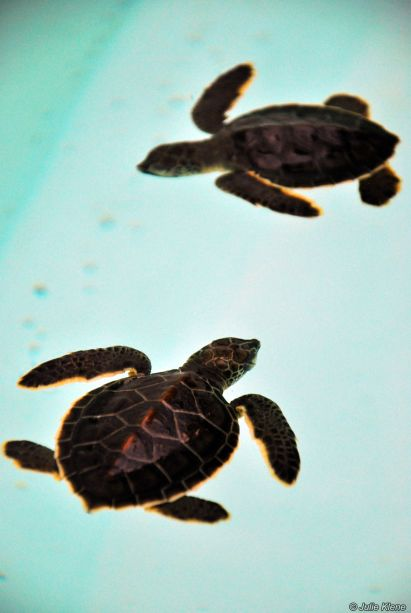 baby turtles, Xcaret, Playa del Carmen, Mexico
