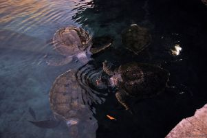 huge turtles, Xcaret, Playa del Carmen, Mexico