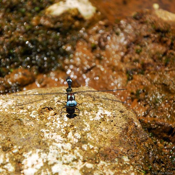 dragonfly ecuador, bokeh