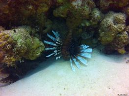 lionfish, Belize