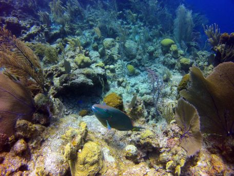 parrotfish, Belize