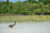 pelican in Punta Paraíso, Holbox, Mexico