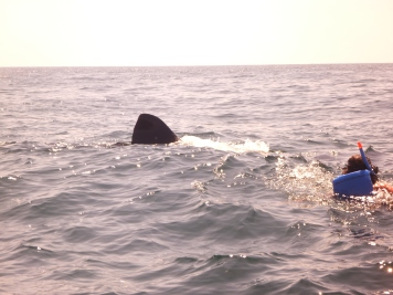 swimming with whale sharks, Holbox, Mexico