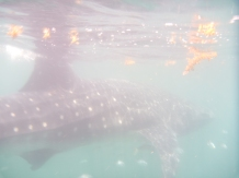 whale shark, Holbox, Mexico