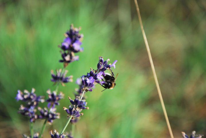 bee & lavender, France
