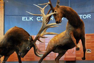 elk encounter, Missoula, MT, USA