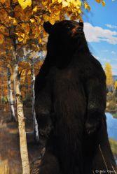 bear encounter, Missoula, MT, USA