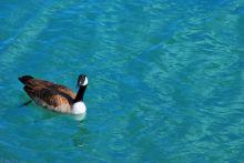 duck, Chicago, IL, USA