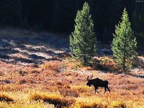 moose at Upper Piney Lake Trail, CO, USA