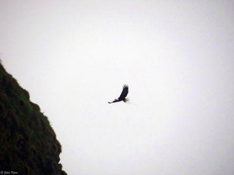 bald eagle, Cannon Beach, OR, USA