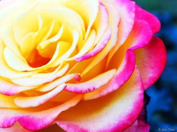 Washington Park International Rose Test Garden, Portland, OR, USA