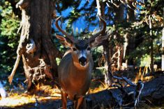 buck in Klahane Ridge, WA, USA