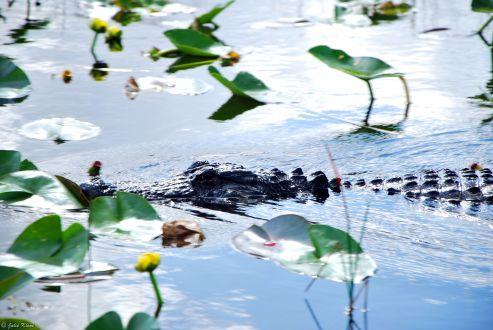 croc' in the Everglades, Miami, FL, USA