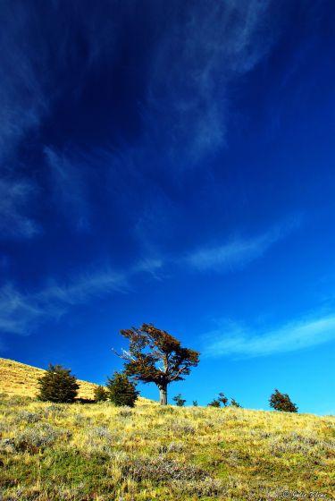 La Olla lone tree, Puerto Natales, Chile