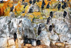 cormorans in Beagle Canal, Ushuaia, Argentina