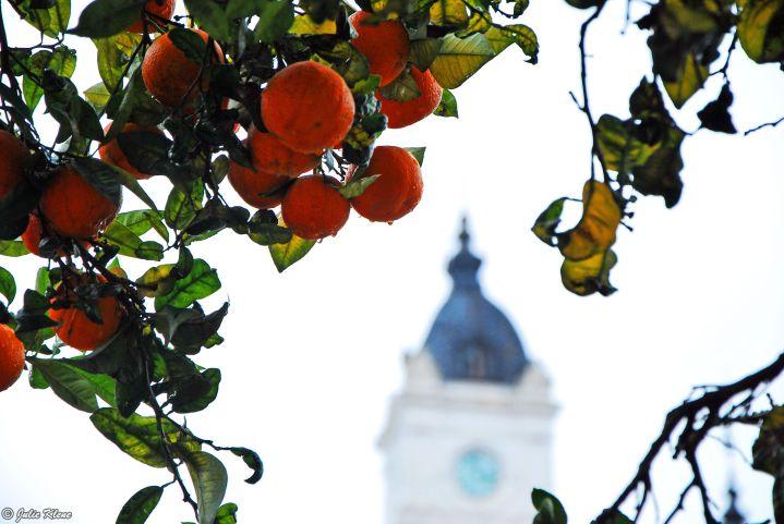 orange trees in La Plata, Argentina