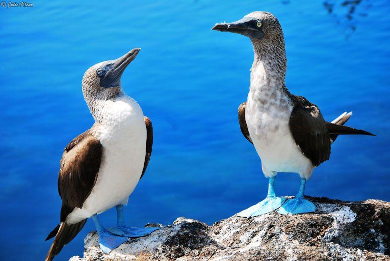 Blue-footed boobies, Galapagos islands, Ecuador