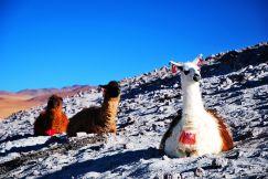 Alpacas, Uyuni Salt Flats, Bolivia