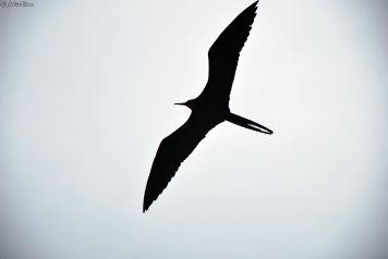 frigate bird, Galapagos islands, Ecuador