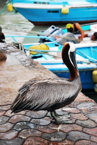 pelican, Galapagos islands, Ecuador