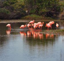 pink flamengos, Galapagos islands, Ecuador