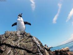 exotic pinguin, Galapagos islands, Ecuador