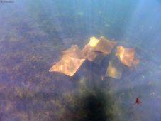 golden ray, Galapagos islands, Ecuador