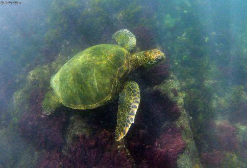 green sea turtle, Galapagos islands, Ecuador