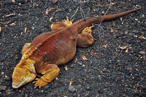 land iguana, Galapagos islands, Ecuador