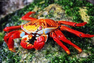 Sayapa crab, Galapagos islands, Ecuador