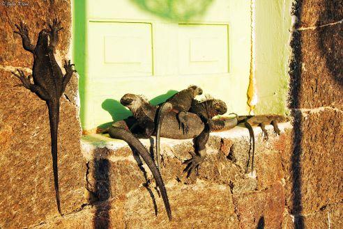 sea iguanas, Galapagos islands, Ecuador