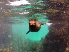 playful sea lion, Galapagos islands, Ecuador