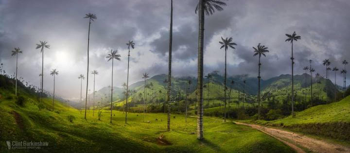 Wax Palms of Salento, Colombia by Clint Burkinshaw