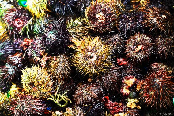 swarm of sea urchins, Aix-en-Provence, France