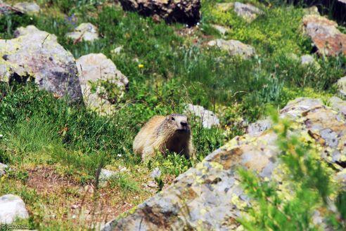 Marmot on Lac du Combeynot hike, Briançon, France