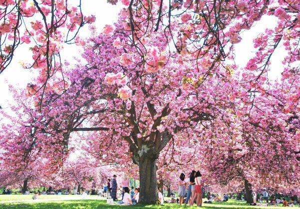 Cherry trees, Parc de Sceaux, Paris, France